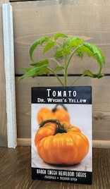 Click to enlarge Dr. Wyche's Yellow Heirloom Tomato Transplant