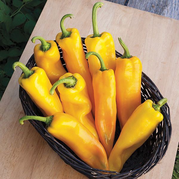 Click to enlarge Lively Italian Yellow Heirloom Pepper Seedling